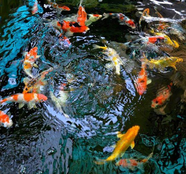 Tự thiết kế hồ nuôi cá Koi bằng khung thép lót bạt tại nhà