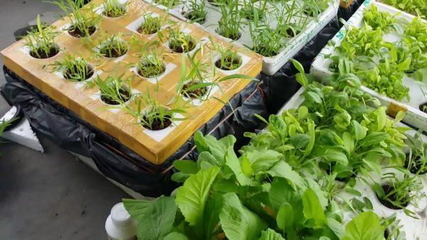 Lót bạt thùng xốp trồng rau thủy canh tĩnh