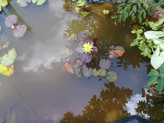 Hồ cá lót bạt thư giãn của anh Huỳnh Đình Thọ tại Đà Lạt