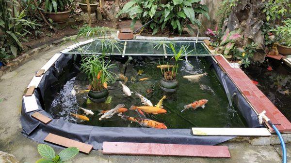 Bể cá koi sân vườn lót bạt của bác Quyết